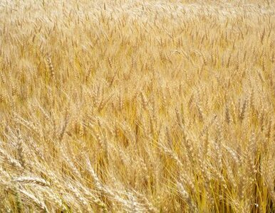 """PiS nie chce GMO. """"To może zniszczyć unikatową przyrodę Polski"""""""