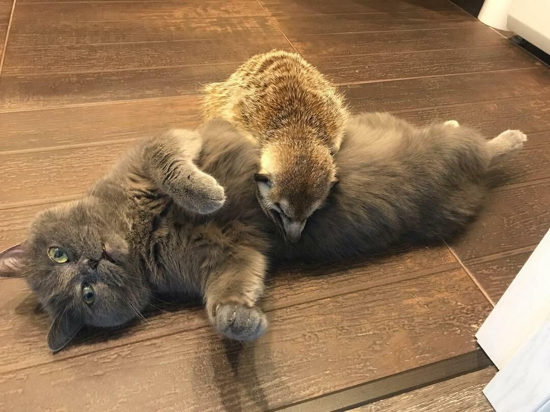 Przyjaźń połączyła surykatkę i kota