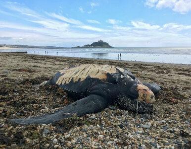 Tajemnicza śmierć gigantycznego żółwia wyrzuconego na plażę. Zagadkowe...