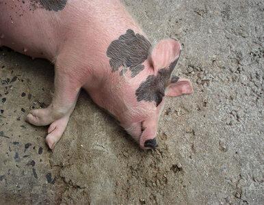 Bruksela chce zwiększyć strefy buforowe. Zniszczy produkcję wieprzowiny...