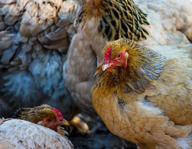 Tym razem to kury były górą. Właściciele farmy znaleźli lisa...