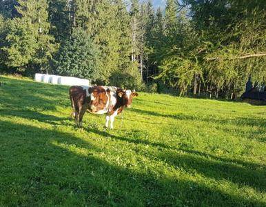 Krowa zraniła 9-latkę. Rodzice chcieli pokazać jej zwierzę z bliska