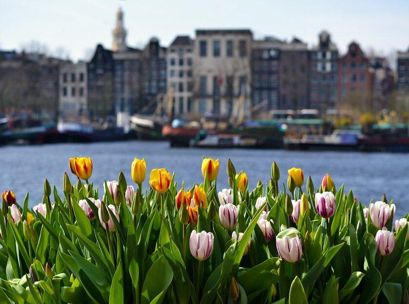 Tulipany w Amsterdamie