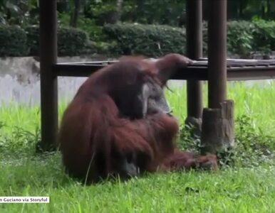 Orangutan przyłapany na paleniu. Przez to nagranie zoo ma problem
