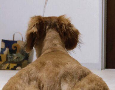 """""""Przypakowany"""" pies z ogonem na plecach? Internauci szaleją z..."""