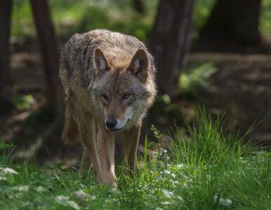 Naukowcy o wilczym menu: Zamiłowanie do zjadania bobrów jest dla ludzi...