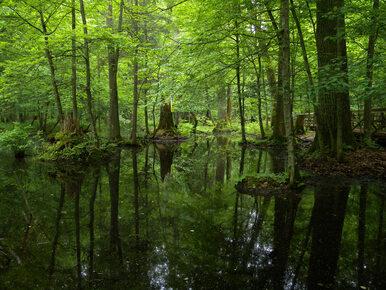 Światowa Unia Ochrony Przyrody: Żadnych cięć w Puszczy Białowieskiej