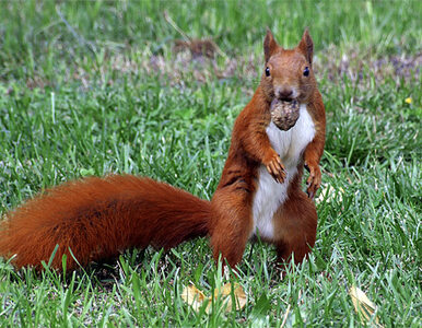 Ruda Śląska chce mieć ogromną wiewiórkę