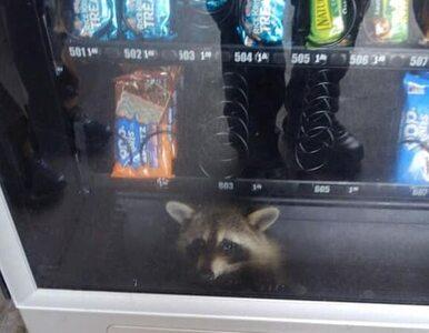 Szop o lepkich łapkach utknął w automacie z przekąskami