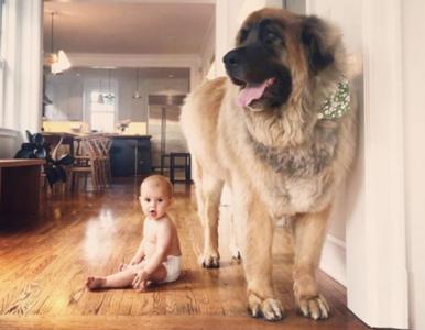 Urocze olbrzymy podbijają serca właścicieli psów. Poznajcie leonbergery!
