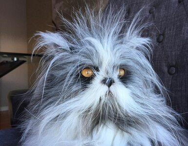 Atchoum to jedyny znany kot z syndromem wilkołaka. Jak to się objawia?