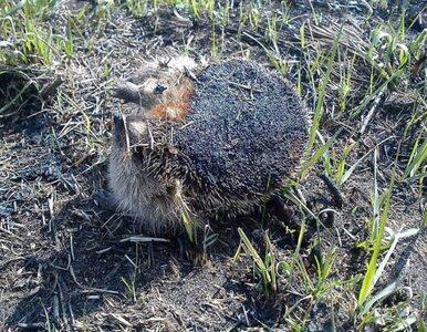 Wypalanie traw zabija zwierzęta. Straż pokazała dramatyczne zdjęcia