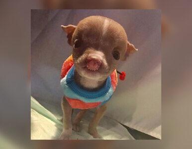 Mały pitbull podbił serca internautów. To, że żyje, to prawdziwy cud