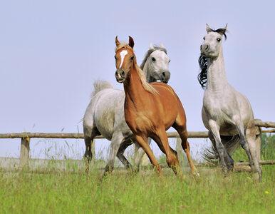 Prestiżowa aukcja koni Pride of Poland zagrożona? Wycofał się organizator