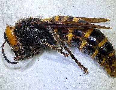 Morderczy szerszeń w USA. Gigantyczny owad został złapany w pułapkę