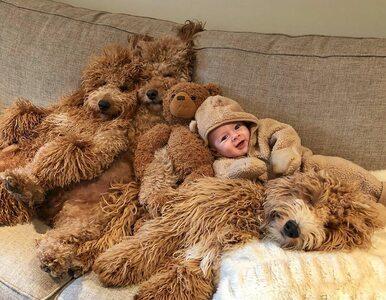 """Niezwykła przyjaźń chłopczyka i trzech gigantycznych psów. """"To podnosi..."""