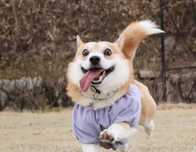Mimika tego psa bawi do łez. Corgi jest radosny mimo ciężkiej choroby