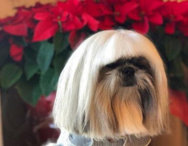 Pies, który wygląda jak Lady Gaga, podbija Instagram. Szczególną uwagę...