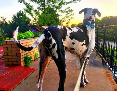 Tego psa trudno nie zauważyć. Larry jest gigantyczny!